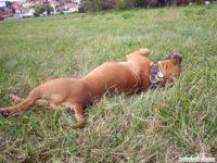 stafforshire_bull_terrier_de_orphanus32