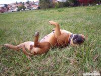 stafforshire_bull_terrier_de_orphanus33