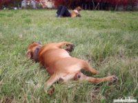 stafforshire_bull_terrier_de_orphanus36