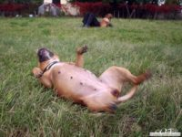 stafforshire_bull_terrier_de_orphanus37