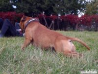 stafforshire_bull_terrier_de_orphanus42