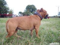 stafforshire_bull_terrier_de_orphanus43