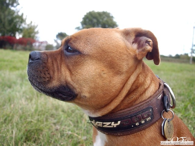 stafforshire_bull_terrier_de_orphanus44