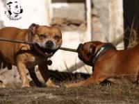 Staffordshire Bull Terrier 2017