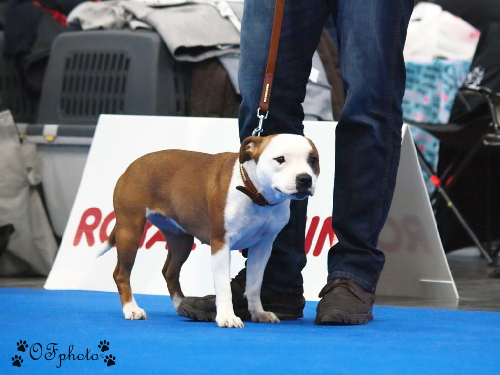 Staffordshire Bull Terriers 2018