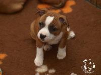 Staffordshire bull terier puppies - litter H