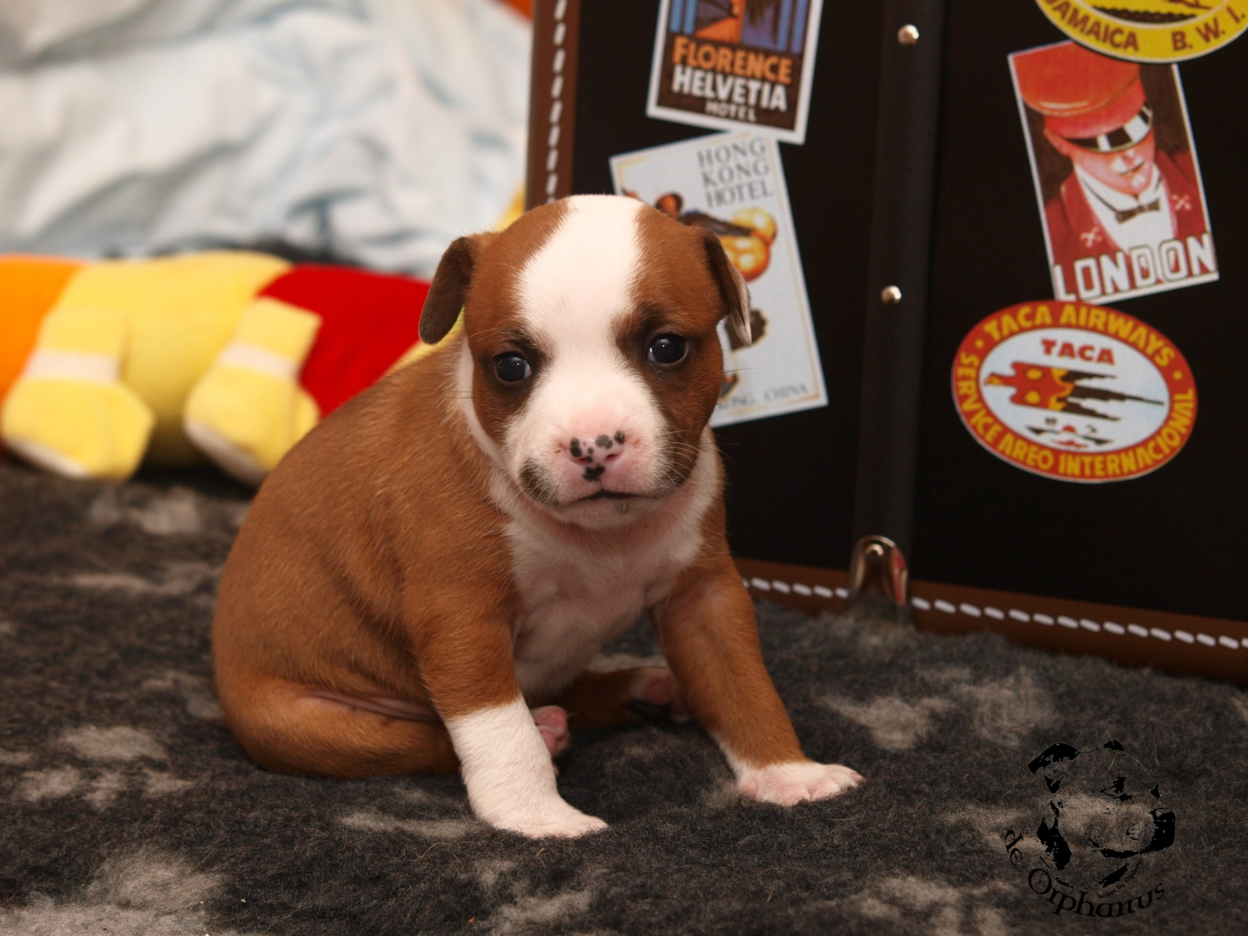Staffordshire bull terier puppies - litter H