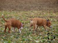 Staffordshire Bull Terrier de Orphanus
