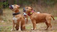Staffordshire bull terrier gallery