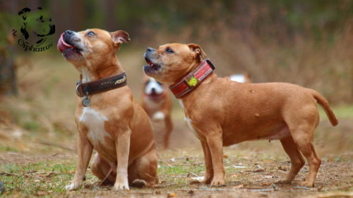 Staffordshire bull terrier gallery