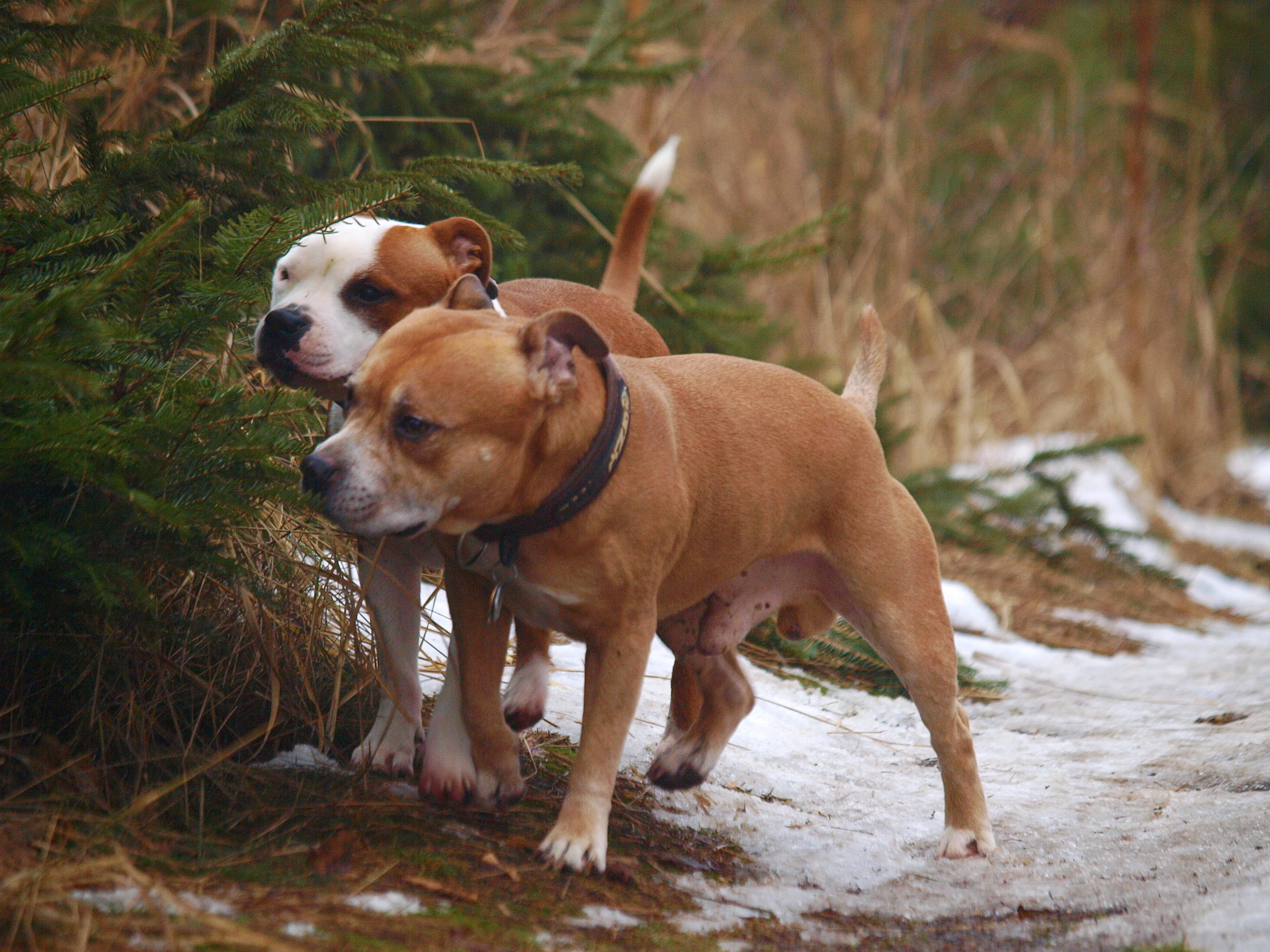 Stafforshire Bull Terrier de Orphanus