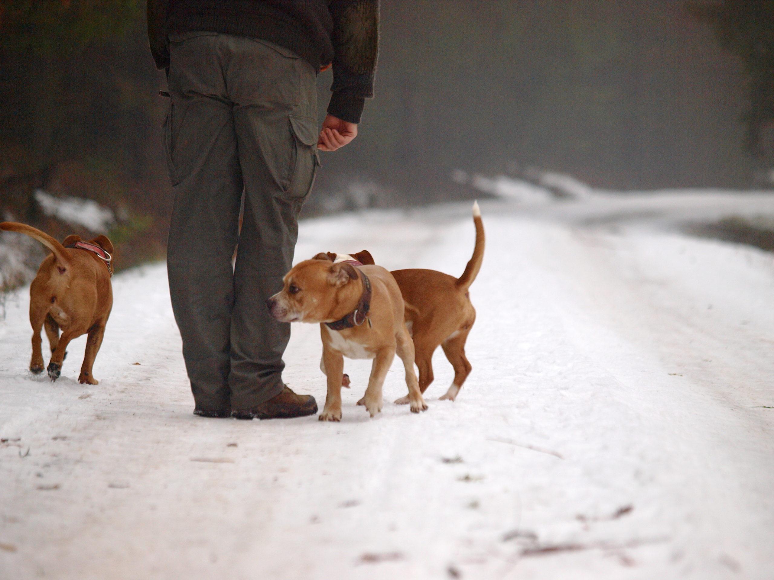Stafforshire Bull Terrier de Orphanus