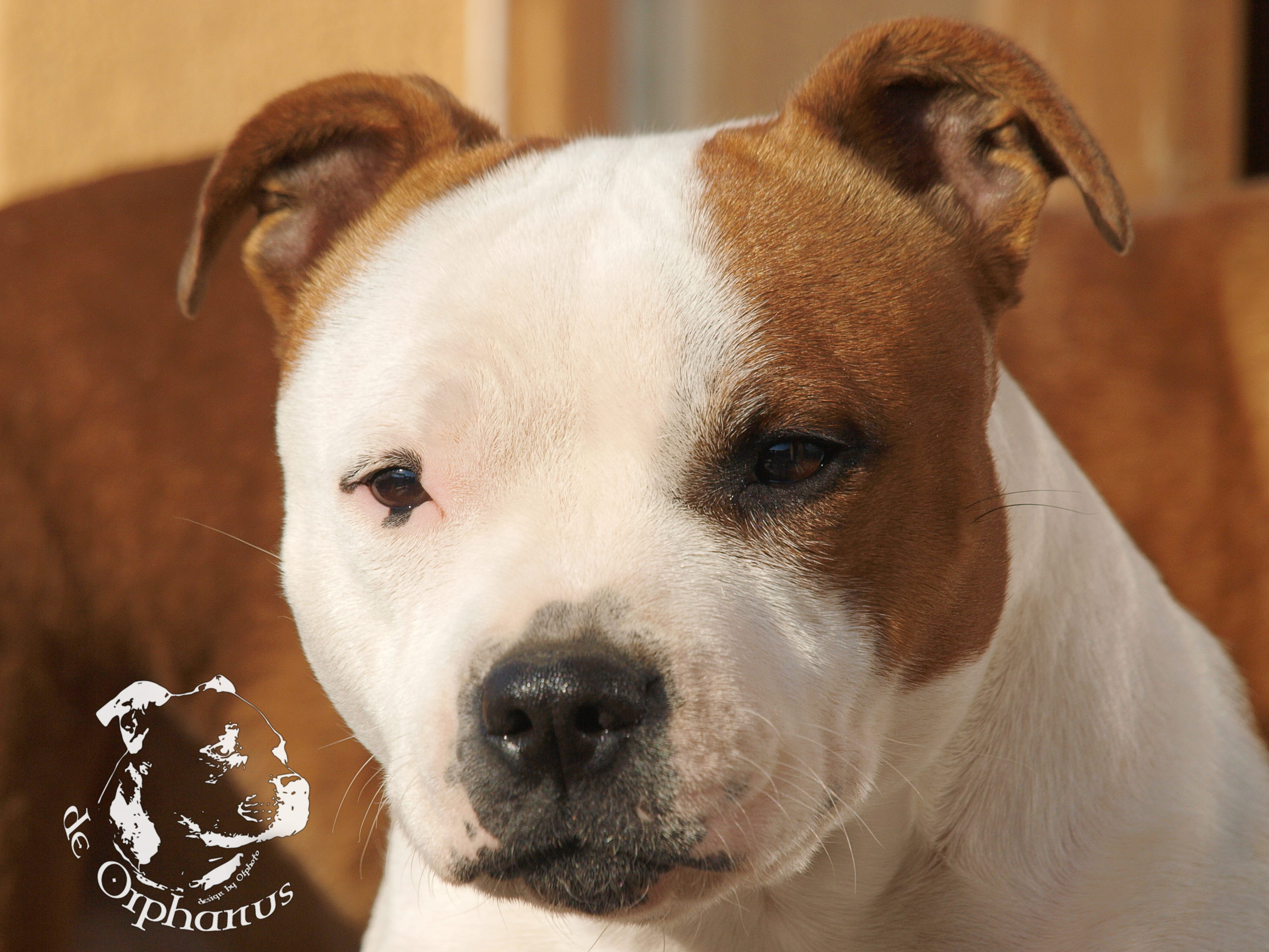 gallery Staffordshire Bull Terrier
