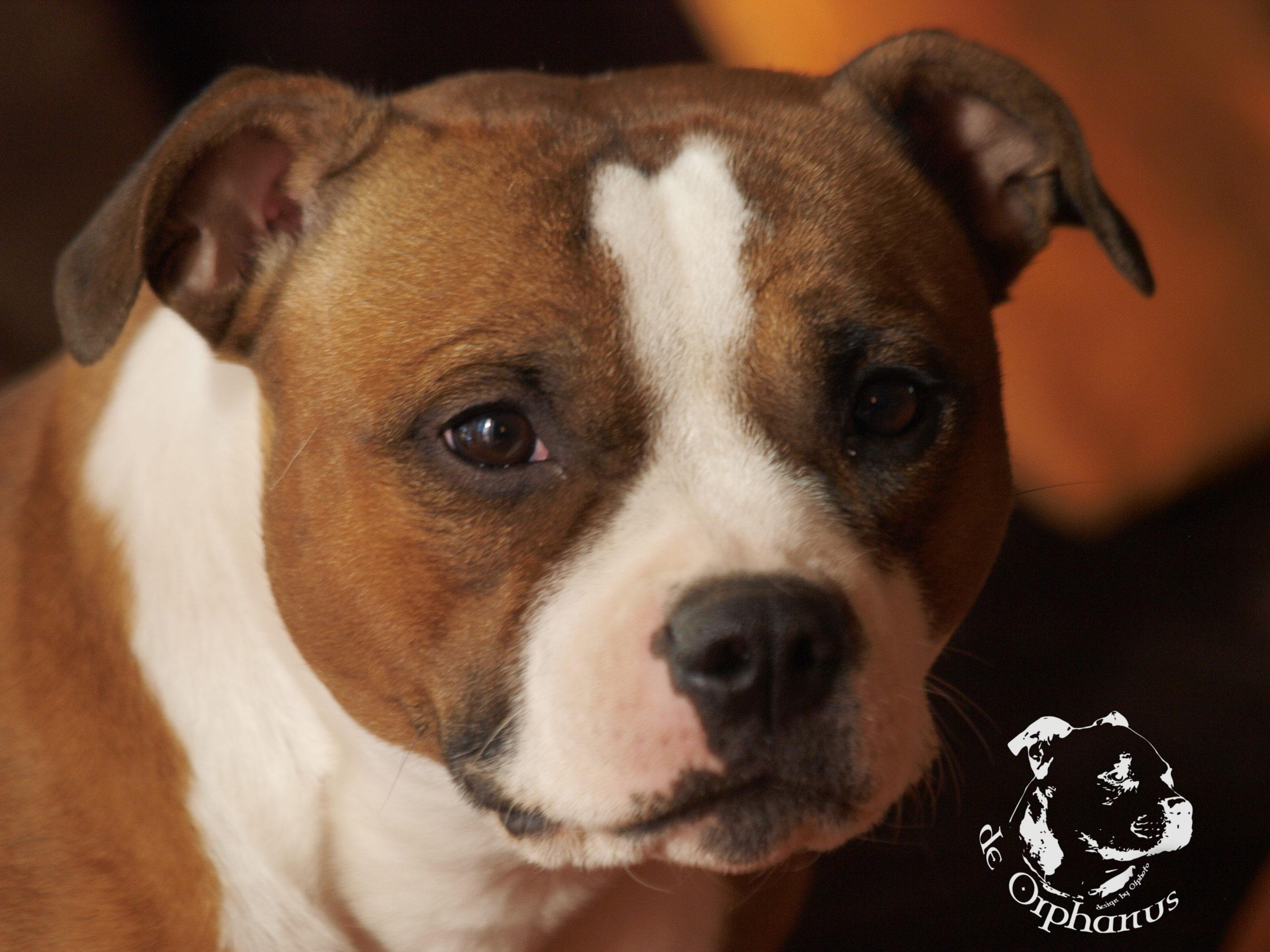 gallery Staffordshire Bull Terrier